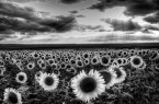 black-and-white-flower-photography